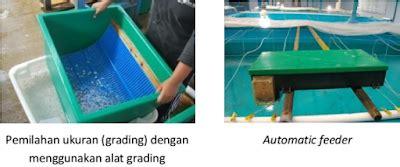 Bibit Ikan Bawal Bintang penyuluhan perikanan teknik pembenihan bawal bintang