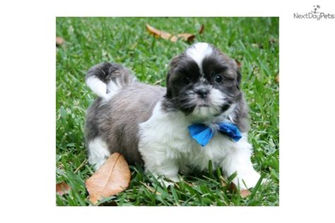 blue shih tzu puppies meet bw a shih tzu puppy for sale for 600 bw blue shihtzu