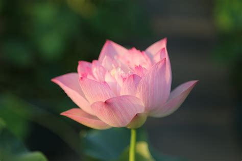 wallpaper lotus flower design image gallery lotus flower wallpaper