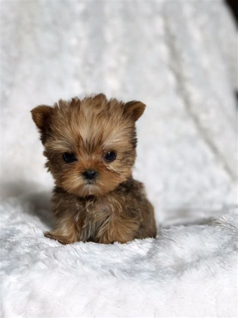 morkie puppies for sale in california micro teacup morkie puppy for sale california buy puppy iheartteacups