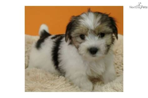 morkie puppies for sale in florida morkie puppies for sale morkie yorktese puppy for sale gorgeous morkie