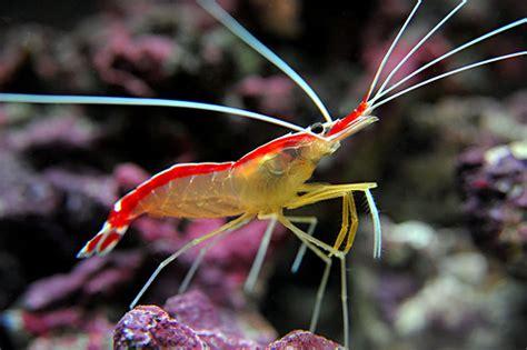 invertebrate spotlight the skunk cleaner shrimp news shrimp reef builders the reef and