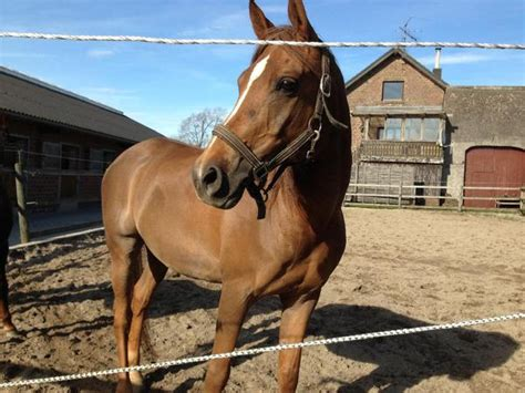 verkaufen kaufen pferde kaufen araber images