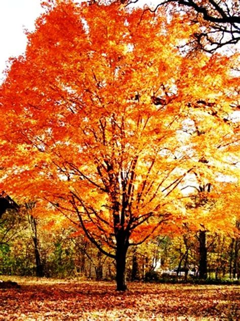 pretty trees the most beautiful trees in the fall sugar maples