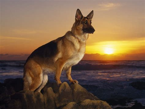 german shepherd german shepherds images german shepard wallpaper photos 8119240