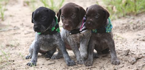 gsp puppies vizsla and german shorthaired pointer puppies from creekside kennel