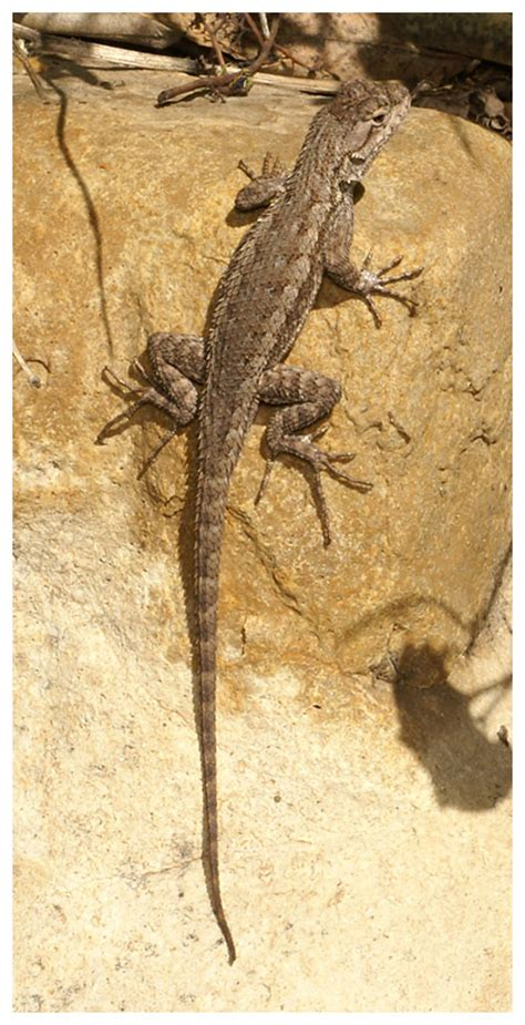 backyard reptiles where to find lizards in your backyard 28 images 100 where to find lizards in your