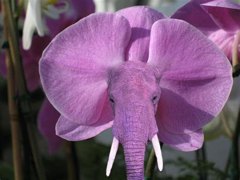 orchid     elephant