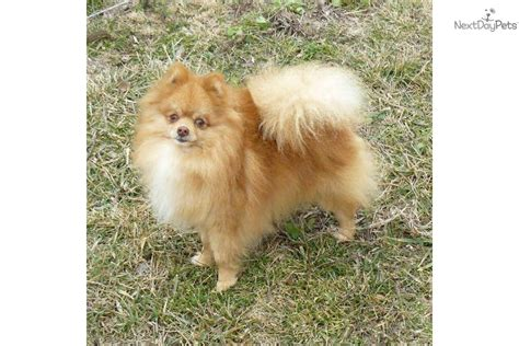 overweight pomeranian overweight pomeranian www imgkid the image kid has it