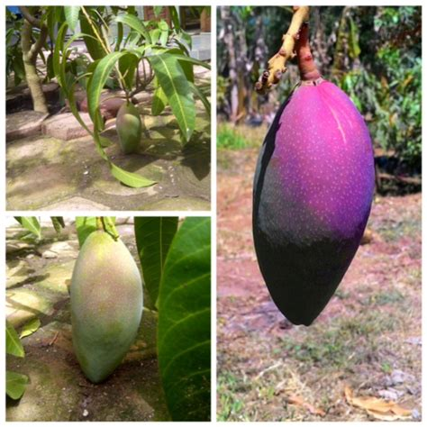 Jual Bibit Buah Naga Di Jambi jual bibit tanaman buah 0878 55000 800 kami toko jual
