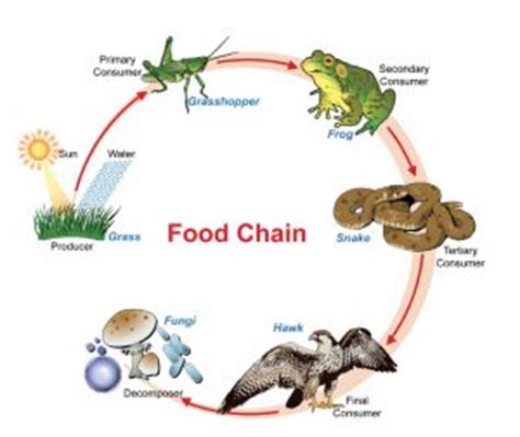 forest food chain diagram energy flow through an ecosystem everest ias
