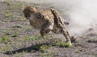 Jaguar Running Speed Cheetah Running At Top Speed Outside Reno Nevada At
