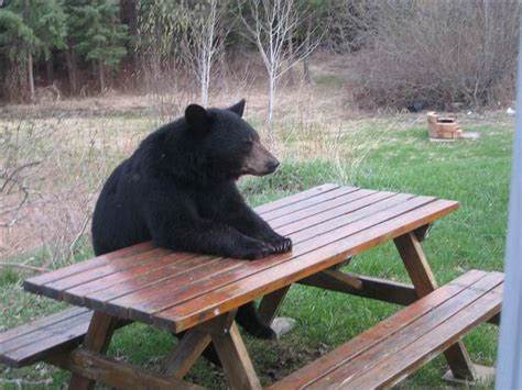 Patient Bear / Bear Sitting At Table   Know Your Meme