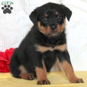 rottweiler puppies in ohio for sale rottweiler puppies for sale in ohio 300 dollars dogs in our photo