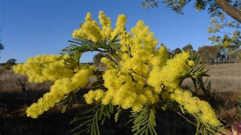pianta mimosa in vaso coltivare la mimosa in vaso buona festa delle donne
