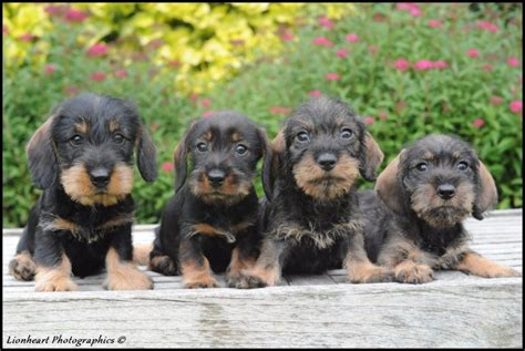 honden pups advertenties honden pups te koop vinden of dieren teckel pups zoekertjes net