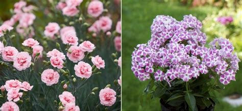 fragrant plants for pots fragrant plants for containers my garden