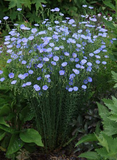 Outside The Gates Of The World Hardy 711 best images about primitive flowers and gardens on