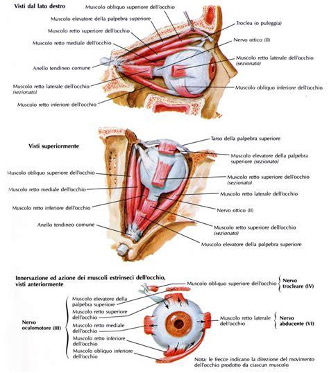 test di anatomia muscolo retto inferiore dell occhio o bulbo oculare
