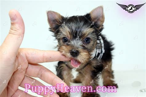 micro mini yorkie puppies mini me micro teacup yorkie puppy in san jose ca 95120 found a new loving home with