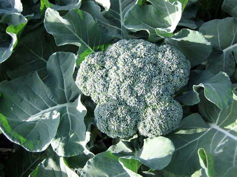 Gardening Broccoli S Herb And Garden Journey How To Grow Broccoli