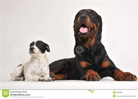 rottweiler and westie puppies rottweiler and russel terrier royalty free stock photos image 9683688