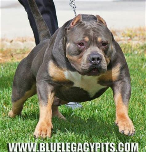 tri color bully puppies for sale tri color pitbulls for sale 28 images ancestors xl tri color bully pitbulls
