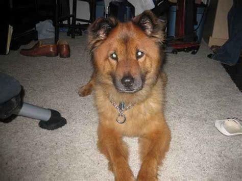 chow shepherd mix puppy chow shepherd gsd mixed with chow chow