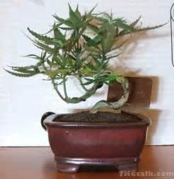 Grow Lights For Weed Marijuana Bonsai Bonsai Empire