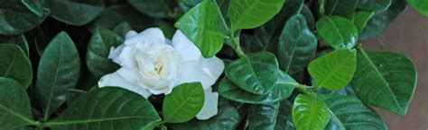 leaves  gardenia turning yellow melinda myers