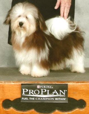akc rules for giving a havanese a hair cut hair pups is your source for akc havanese puppies for sale