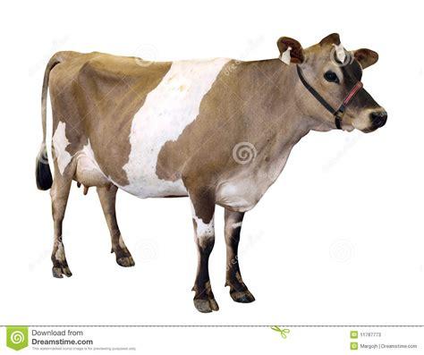 imagenes de vacas sin fondo vaca de jersey con el halter imagen de archivo imagen