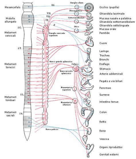 vasi mesenterici sistema nervoso autonomo wikiwand