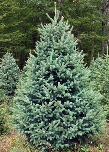 black hills fir pre lit blue spruce tree from evergreen valley tree farm colorado blue spruce they