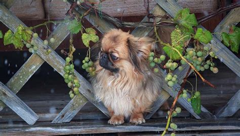grapes for dogs grapes for dogs 101 can dogs eat grapes and what s the danger