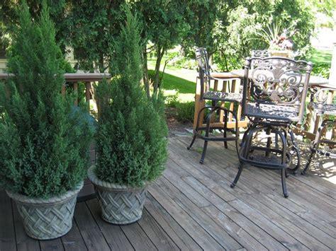alberelli da terrazzo piante da vaso sempreverdi piante da terrazzo piante