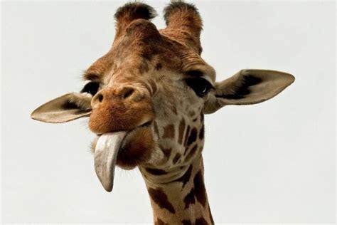 Imagenes De Jirafas Sacando La Lengua | jirafa sacando la lengua 56668