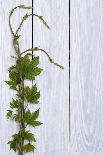 alimenti che depurano il fegato luppolo piante spontanee commestibili di marzo