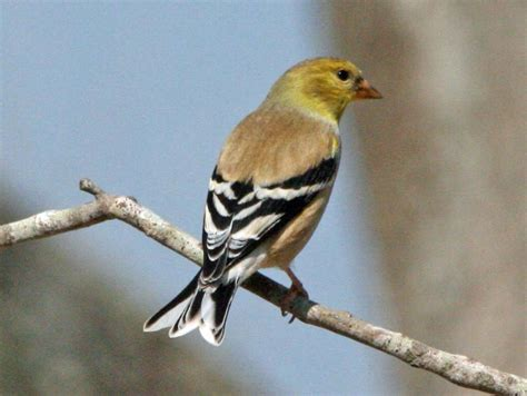 file american goldfinch male rwd jpg wikimedia commons
