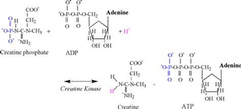 creatine reaction creatine kinase creatine phosphokinase