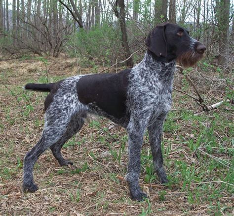 drahthaar puppies for sale home drahthaar dogs for sale pets world
