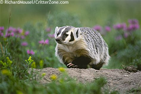Tennessee State Flower by Wisconsin State Animal Badger