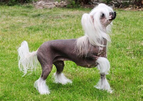 dogs with no fur breeds of dogs and cats with no hair