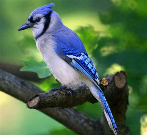 how to attract blue jays to your backyard 28 images