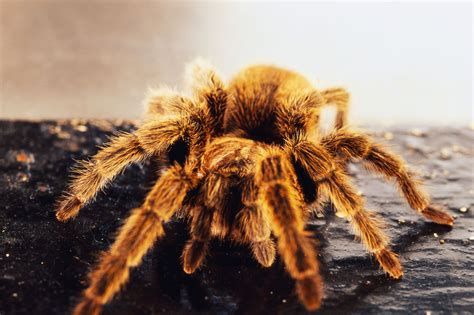 100 do tarantulas shed their legs skeleton leg