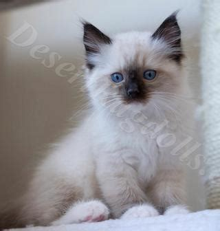 ragdoll cat lifespan ragdoll kitten breeder ragdoll kittens for sale in idaho
