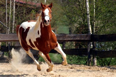 racing breeds top 5 breeds for barrel racing pethelpful