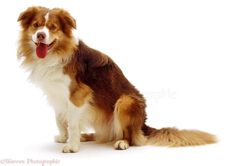 collie dogs border collie photo wp01463