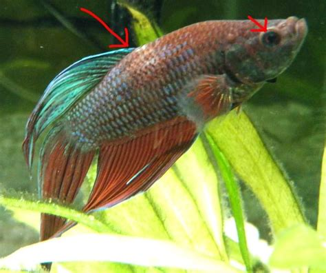 important the betta fish is sick pale losing color
