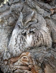 owl pictures 169 bill schmoker